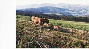 Cow n' Calf